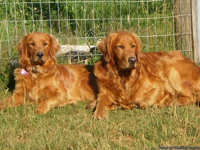 Akc Golden Retriever Puppies Price 55000 For Sale In Hoquiam