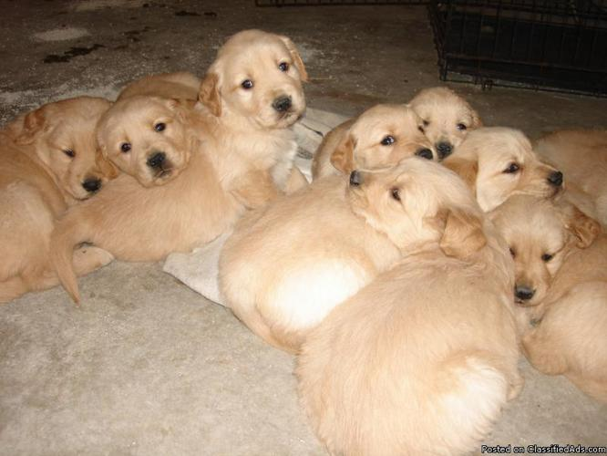 AKC Golden Retriever Puppies - Price: $600 00 for sale in