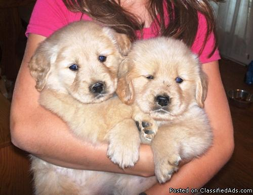 Akc Golden Retriever Puppies Price 650 For Sale In Marienville