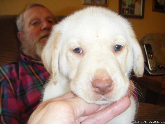 Akc Lab Puppies - Price: $300-$350 for sale in Carleton, Michigan