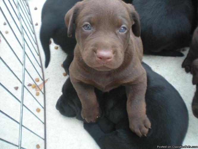 Chocolate Lab Puppies For Sale In Kansas City