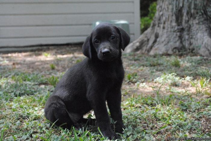 AKC Labrador Retriever Puppies - Price: $400