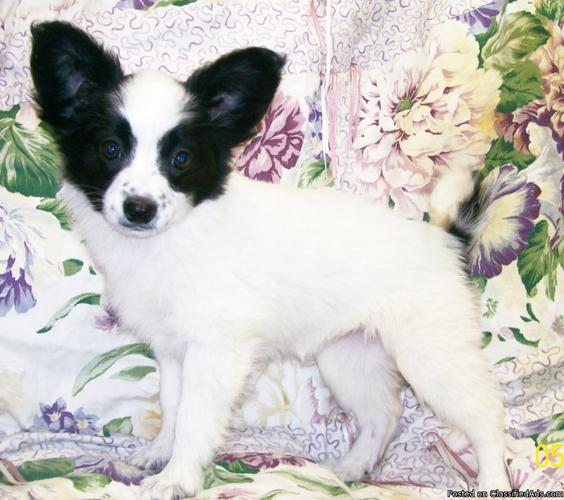AKC Papillon Puppy's Home raised Ready to go - Price: 300.00