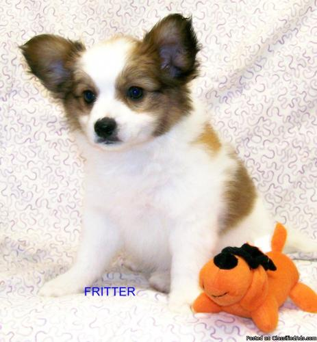 AKC Papillon Puppy's Home raised Ready to go - Price: 400.00