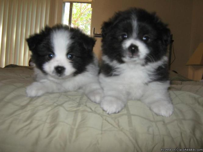 AKC Pomeranian Puppies - Price: $350