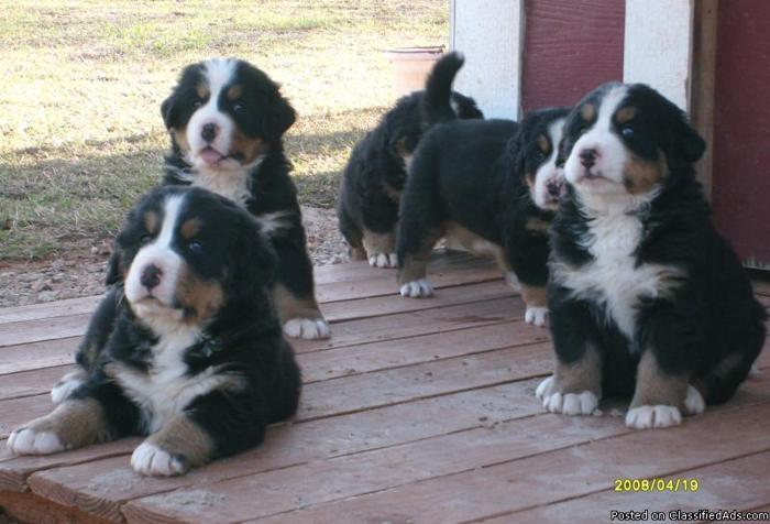 AKC Reg Bernese Mountain Dogs Puppies - Price: 800.00