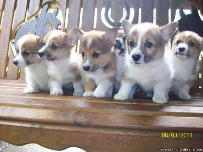 Akc Reg Corgi Puppies For Sale Price 500 00 For Sale In
