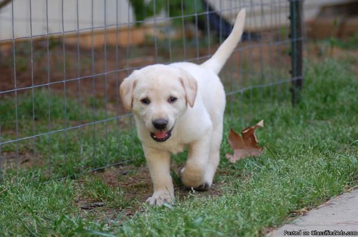 Akc registered Lab puppies - Price: 300.00