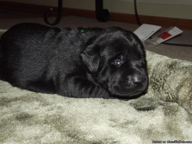 AKC Registered Lab Puppies - Price: $400.00