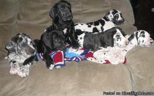 Akc Registered Six Great Dane Puppies For Sale Price 200 For Sale