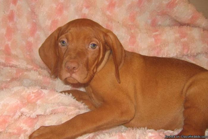 Vizsla Puppy Price Goldenacresdogs