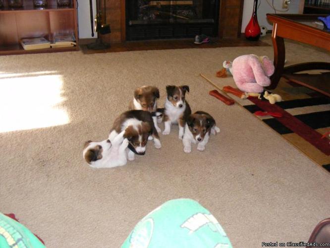 AKC Sheltie puppy's - Price: 350