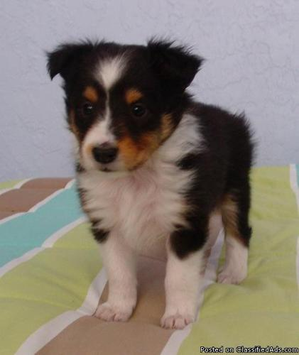 Akc Shetland Sheepdogs Shelties Price 500 For Sale In Peyton