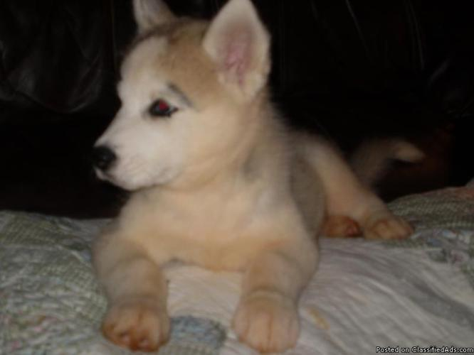 AKC - Siberian Husky Male Puppy - Price: 300.00
