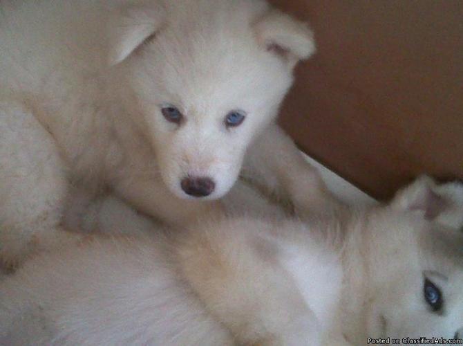 AKC - Siberian Husky Male Puppy - Price: 350.00