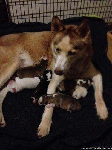 AKC - Siberian Husky red and white female. - Price: 400.00