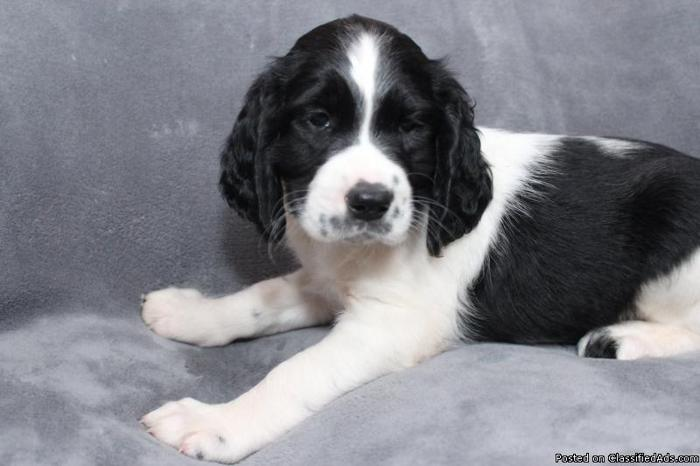AKC Springer Spaniels for sale in Iron Mountain, Michigan - Best