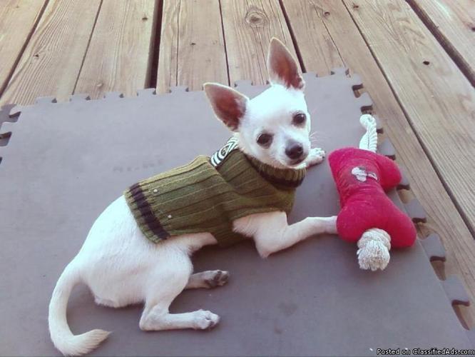 AKC STUD Chihuahua - Price: 300.00