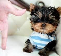 AKC T-Cup Yorkie Puppies for Re_Homing - Price: 200