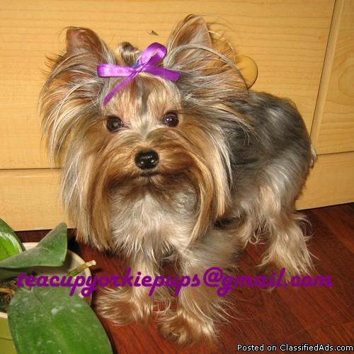yorkie price akc teacup yorkie adult male price 1 200 for sale in 2429