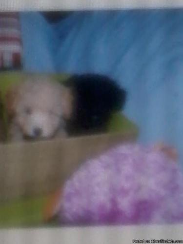 Akc tiny toy poodle - Price: 499