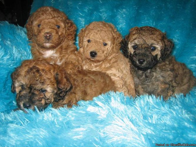 Akc Toy Poodle Puppies Price 27500 For Sale In