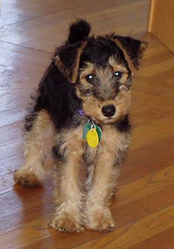 AKC Welsh Terrier Puppies - Price: $1500