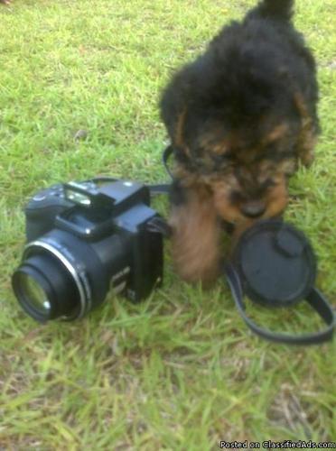 AKC Welsh Terrier Puppies - Price: 800.