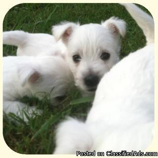 AKC Westie pups - Price: $400 for sale in Columbia, Alabama