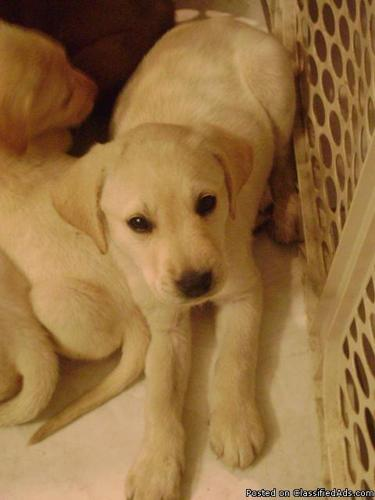 AKC WHITE /BLONDE, CHOCOLATE AND BLACK Male & Female Labrador Retriever PUPPIES **TAKING DEPOSITS**** - Price: $350
