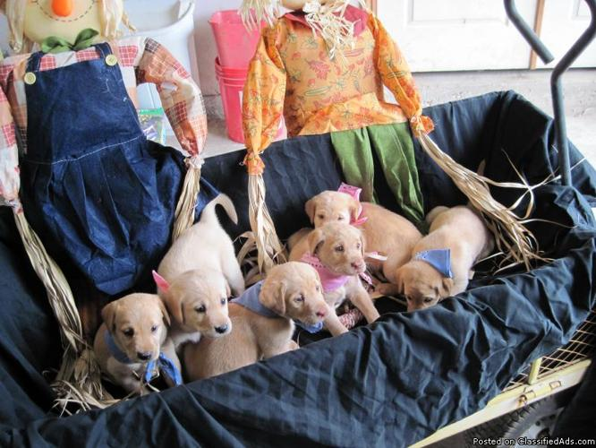 AKC Yellow Labrador Puppies - Price: $500 00 for sale in New