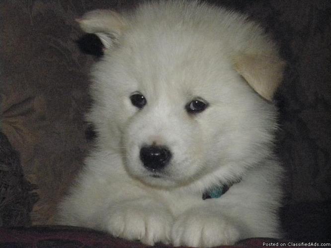 Alaskan Malamute Pups - Price: 500.00