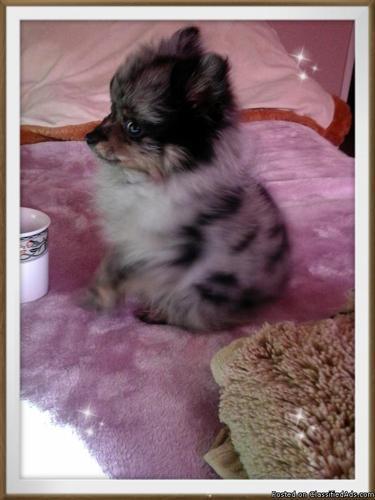 Teacup Blue Merle Pomeranian Puppy