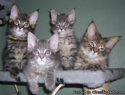 Amazing Mainecoon X Kittens For Sale - Price: 500