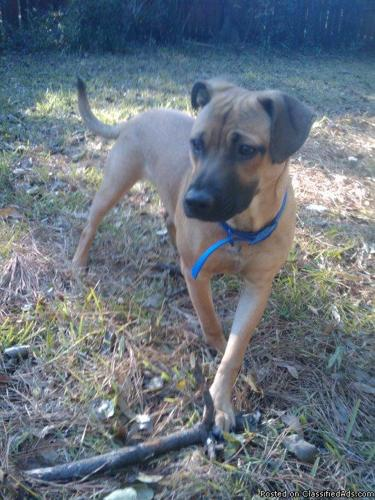 American Bulldog/Shepard Mix - 1 year old - Price: Good Home