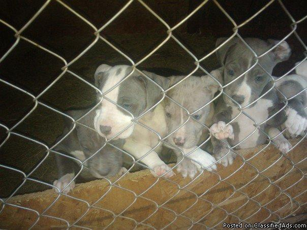 AMERICAN PIT BULL TERRIERS FOR SALE!! - Price: $300!!!