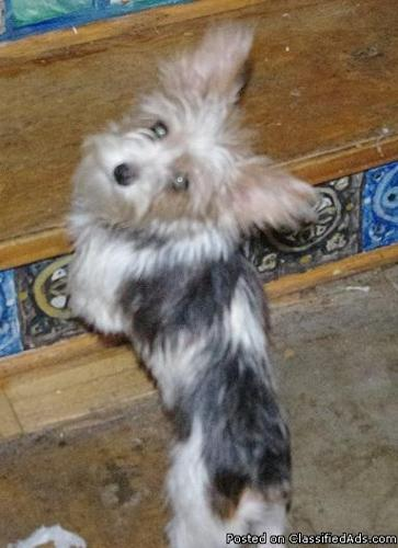 ANGEL AKC PARTI COLOR YORKSHIRE TERRIER 5LBS FULL GROWN - Price: $800