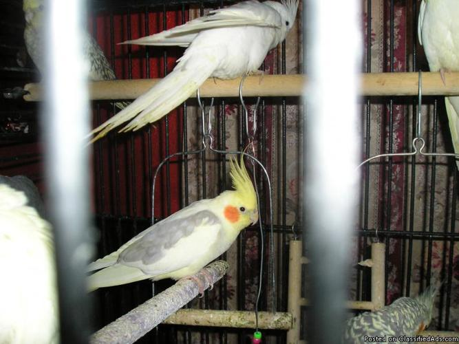 anyone need adult male cockatiels - Price: $45.00