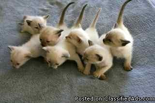 Applehead Siamese Kittens Price 375 For Sale In Castle Rock