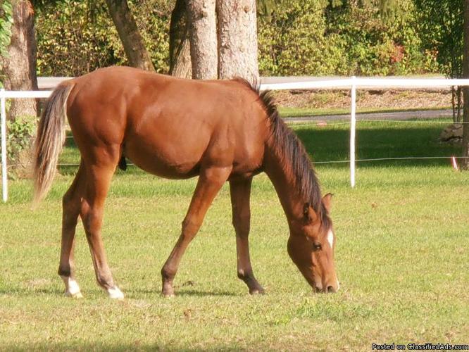 Arabian Gelding - Price: $400.00