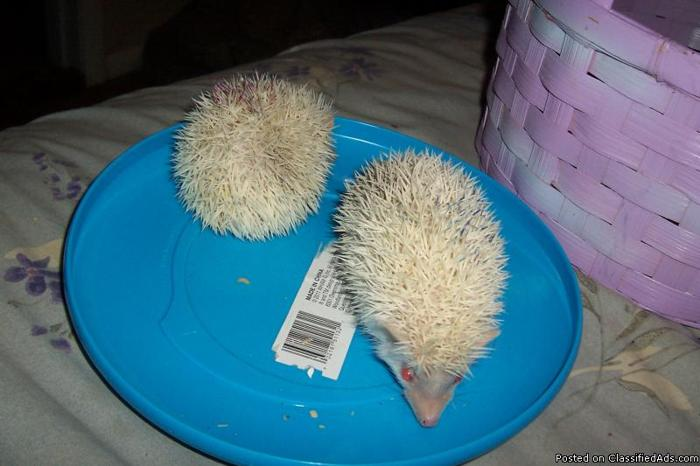 Baby Albino Female Hedgehog - Price: 150.00