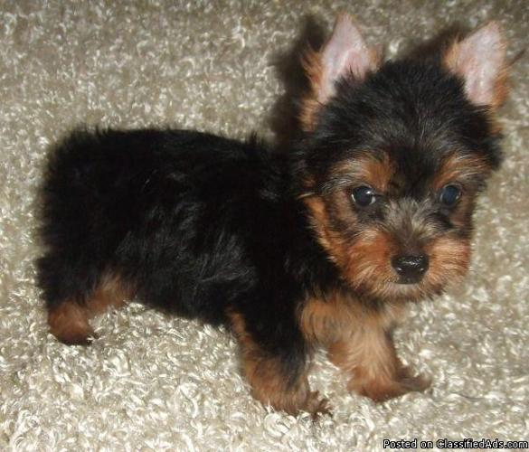 Quite For In Sale Washington Yorkie Puppies energetic bring around
