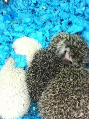 Baby Pgymy Hedgehogs many colors - Price: 159.99