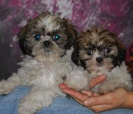 baby shih tzu pups for adoption - Price: 300