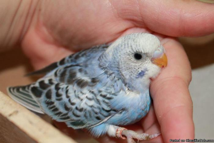 Parakeet Budgie Baby Baby Violet Parakeet Budgie