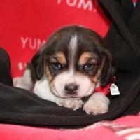 Beagle ACA Registered - 8 weeks - Price: 350.00