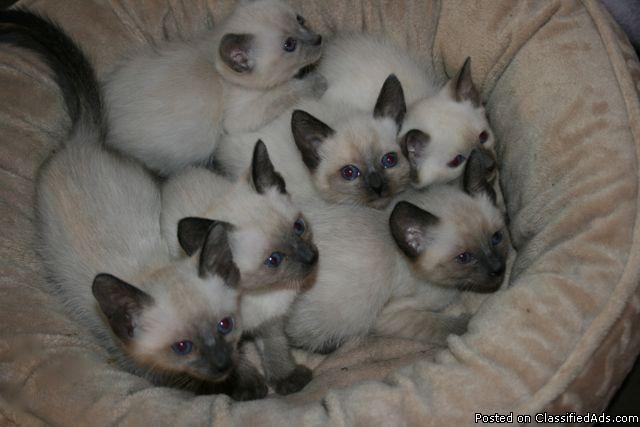 Beautiful Applehead Siamese Kittens Price 375 For Sale In