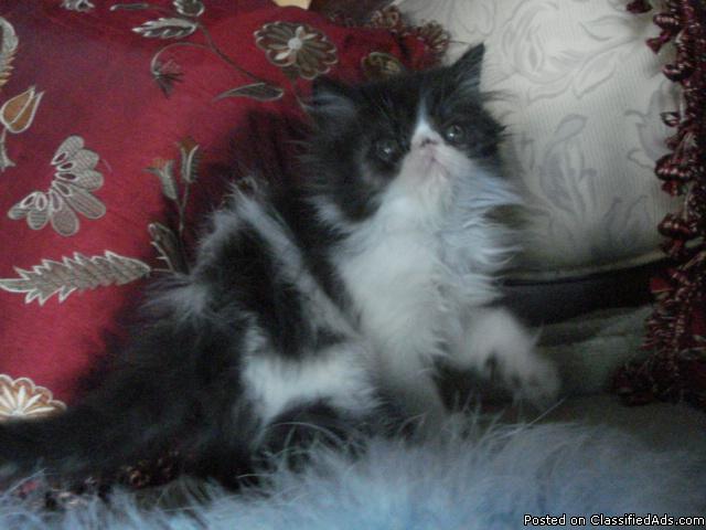 BEAUTIFUL FLUFFY PERSIAN MALE KITTENS