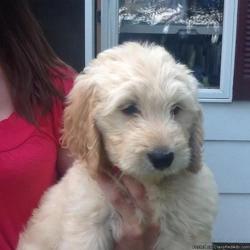 Beautiful Goldendoodle Puppies For Sale In Warsaw New York