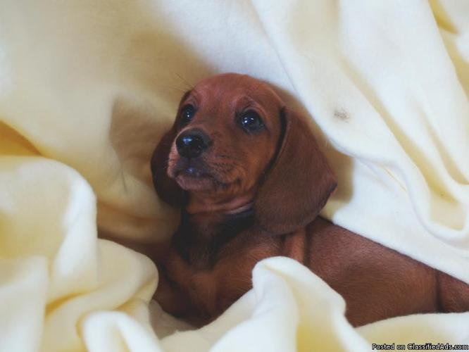 Beautiful Miniature Dachshund Puppies - Price: $350.00